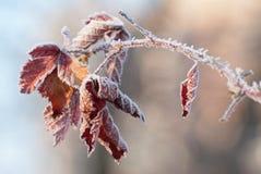 红色冻结的叶子 免版税库存图片