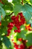 红色分行的无核小葡萄干 库存照片