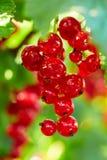 红色分行的无核小葡萄干 库存图片