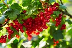红色分行的无核小葡萄干 免版税库存照片