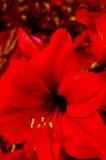 红色剑兰 免版税库存照片