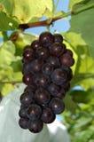 红色千叶的葡萄 免版税库存图片
