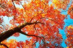 红色单音槭树秋天和深蓝天空 库存照片