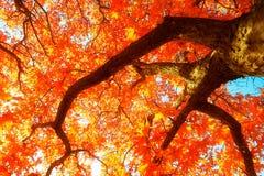红色单音槭树秋天 免版税库存照片