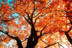 红色单音槭树 免版税库存图片