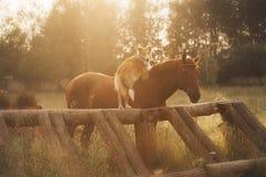 红色博德牧羊犬狗和马 图库摄影