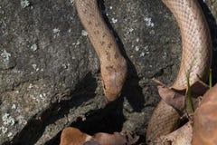 红色古铜色在石背景的颜色光滑的蛇Coronella austriaca 在花岗岩岩石的爬行动物 免版税图库摄影