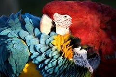 红色叮咬蓝色爱的金刚鹦鹉 免版税库存照片