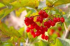 红色可爱的莓果在10月 免版税库存图片