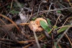 红色可食的蘑菇在草中在秋天增长 库存照片