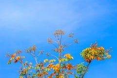 红色叶子和丝绸棉花树的黄色年轻芽开花(Cochlospermum religiosum)有蓝天背景并且复制空间为 免版税库存图片