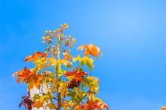 红色叶子和丝绸棉花树的黄色年轻芽开花(Cochlospermum religiosum)有蓝天背景并且复制空间为 库存图片