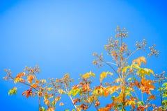 红色叶子和丝绸棉花树的黄色年轻芽开花(Cochlospermum religiosum)有蓝天背景并且复制空间为 免版税图库摄影