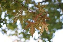 红色叶子和树在秋天 免版税库存照片