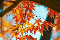 红色叶子和深蓝天空 免版税图库摄影