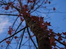 红色叶子和蓝天 免版税库存照片