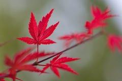 红色叶子和绿色背景 库存图片