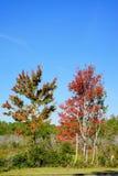 红色叶子在佛罗里达 库存照片