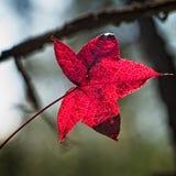 红色叶子在冬天 免版税图库摄影