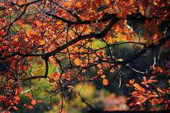 红色叶子在秋天在中国 库存照片