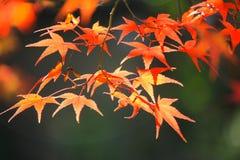 红色叶子在秋天期间 免版税库存图片