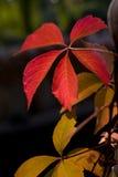 红色叶子在秋天 免版税图库摄影