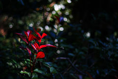红色叶子在秋天 免版税库存图片