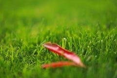 红色叶子在绿草草坪留下槭树在夏天春天公园庭院晴天 图库摄影