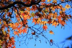 红色叶子有蓝天背景 免版税图库摄影