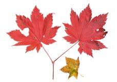 红色叶子槭树13 库存照片