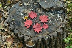 红色叶子槭树11 免版税库存照片
