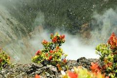 红色叶子生存极端天气在火山口外缘  免版税库存照片