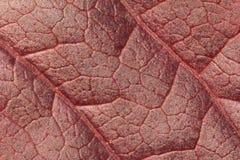 红色叶子纹理 免版税库存照片