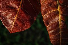 红色叶子被盖露水 免版税库存照片