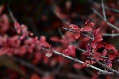 红色叶子,奇怪的色的叶子 免版税库存图片