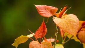 红色叶子,左,有绿色背景 免版税库存照片