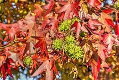 红色叶子,绿色果子 免版税库存照片