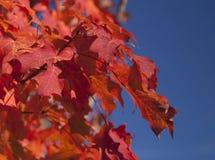 红色叶子,蓝天 免版税图库摄影