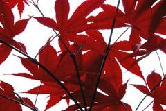 红色叶子 免版税库存照片