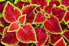 红色叶子 免版税图库摄影