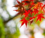 红色叶子 图库摄影