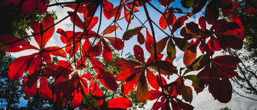 红色叶子 库存照片