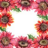 红色向日葵 花卉植物的花 框架边界装饰品正方形 库存图片