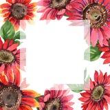 红色向日葵 花卉植物的花 框架边界装饰品正方形 图库摄影