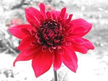 红色向日葵 图库摄影