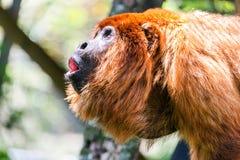 红色吼猴男性指道者 免版税库存照片