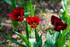 红色和伯根地郁金香在公园进展 免版税库存照片