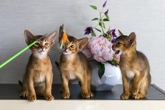 红色和埃塞俄比亚小猫戏剧 免版税库存图片