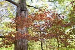 红色和布朗叶子  免版税库存图片