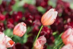 红色和带淡红色的橙色郁金香在公园 选择聚焦 图库摄影